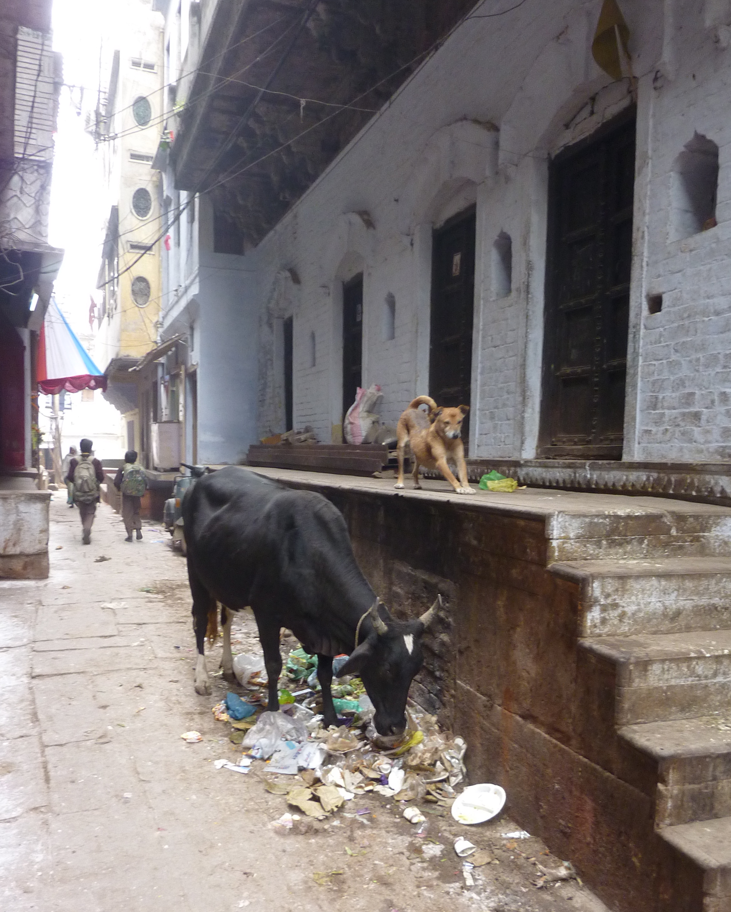 Cow and Downward Dog